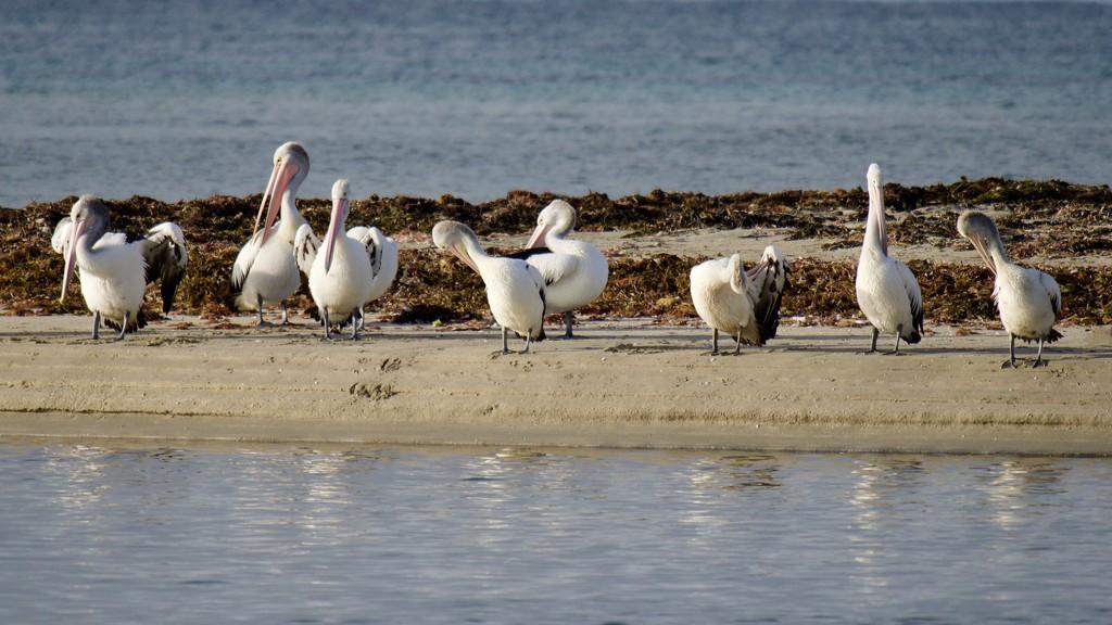 Preening Pelicans PB170516 by merrelyn