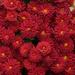 Chrysanthemums by neiljforsyth