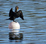 17th Nov 2020 - Green Lake Cormorant
