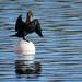 Green Lake Cormorant