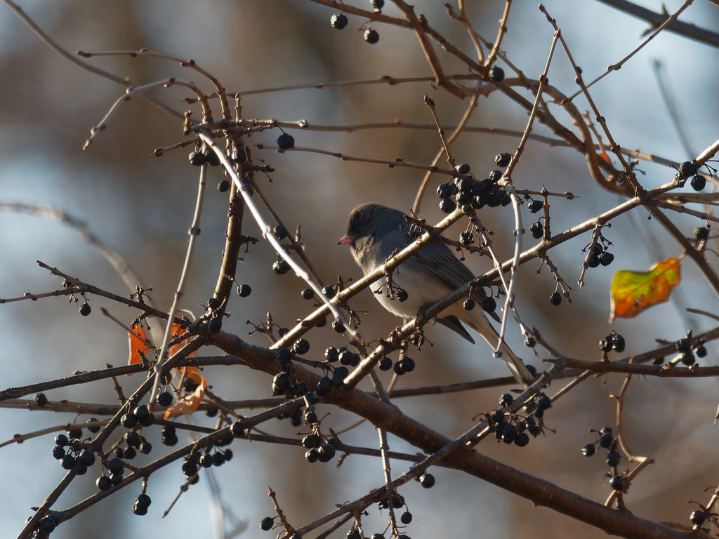 junco  by rminer