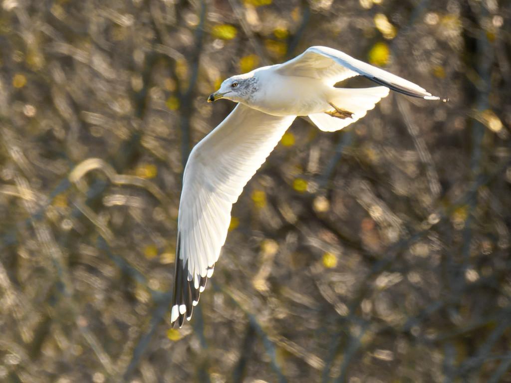 Ring-billed gull in flight by rminer