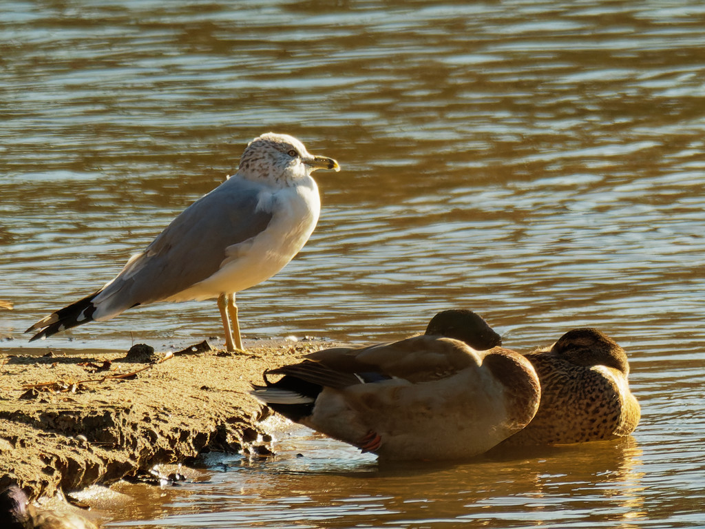 ring-billed gull watching over mallards by rminer