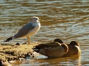 17th Nov 2020 - ring-billed gull watching over mallards