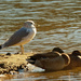 ring-billed gull watching over mallards