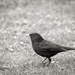 Black and White Blackbird...