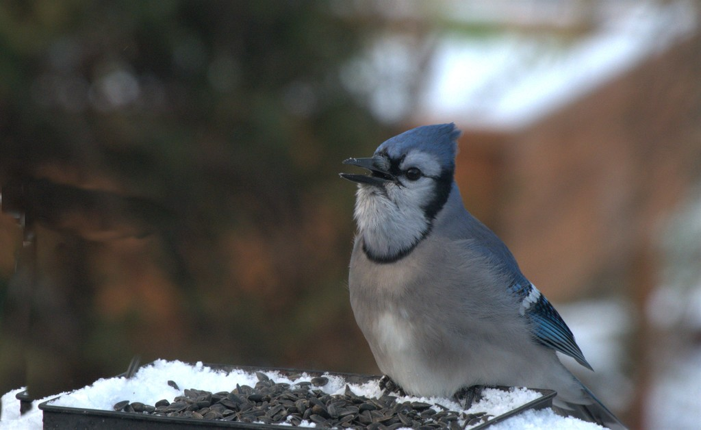 Blue Jay by radiogirl