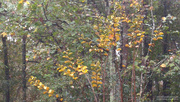 18th Nov 2020 - Painted golden leaves...