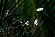 17th Nov 2020 - Caper white butterfly