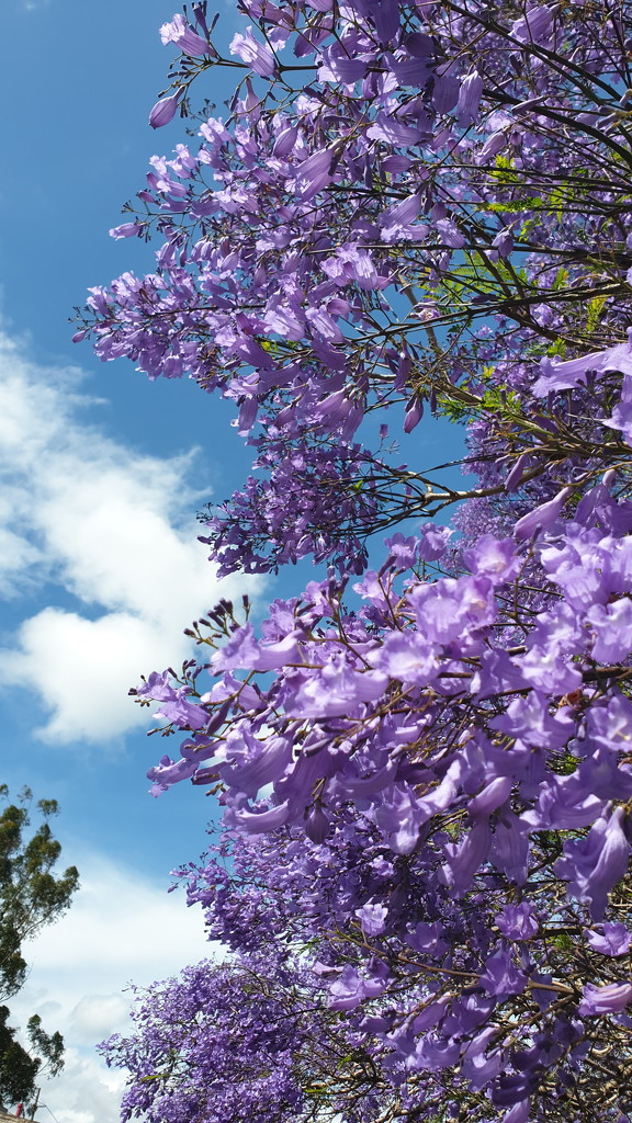 Jacaranda by julianneovie