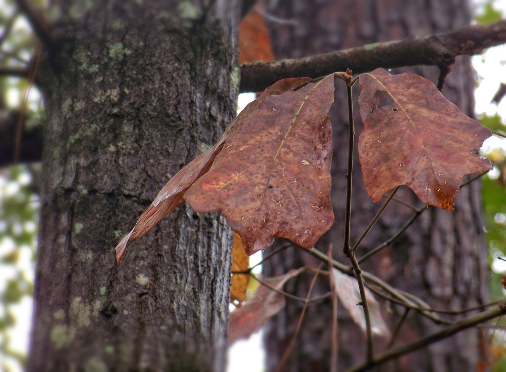 Blackjack Oak... by marlboromaam