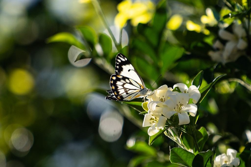 Caper white butterfly by sugarmuser