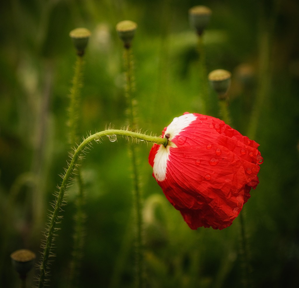 Last poppy by maureenpp