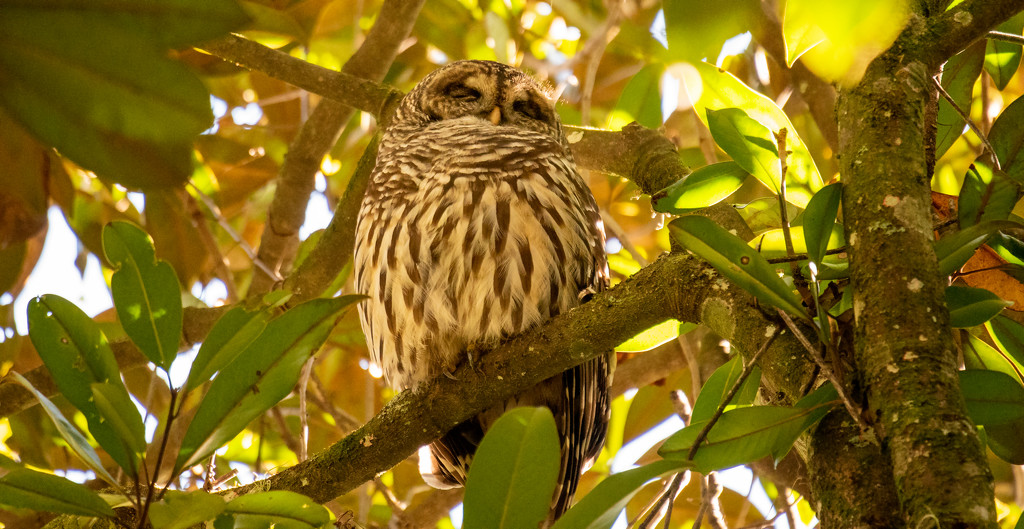 Found the Sleepy Owl Today! by rickster549