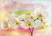 18th Nov 2020 - Orchids in pastels