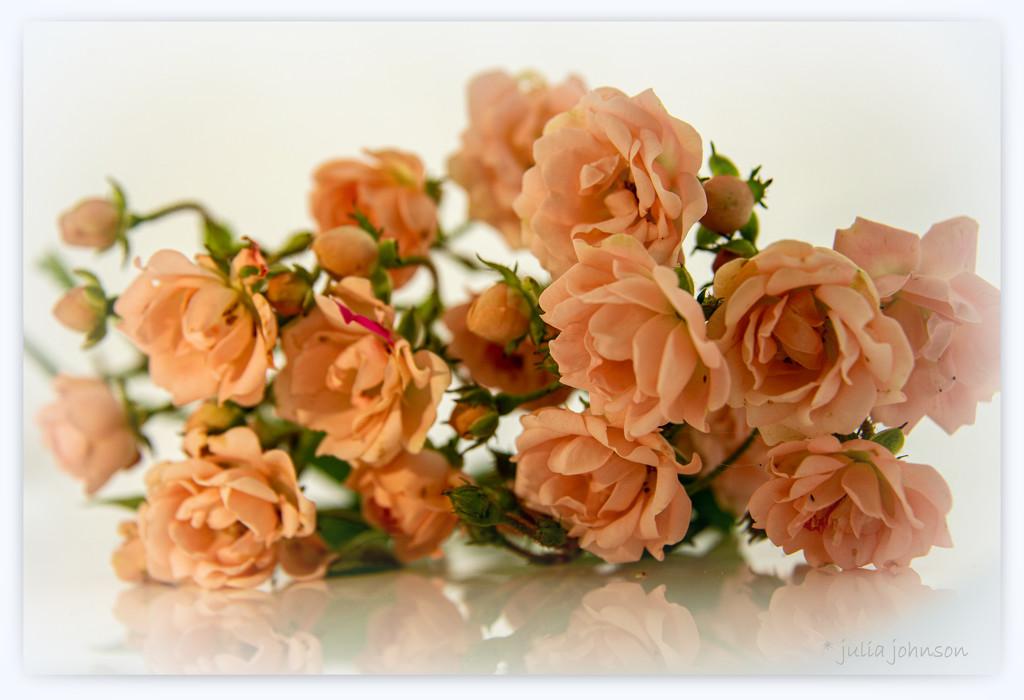 Apricot Maree Parvie by julzmaioro