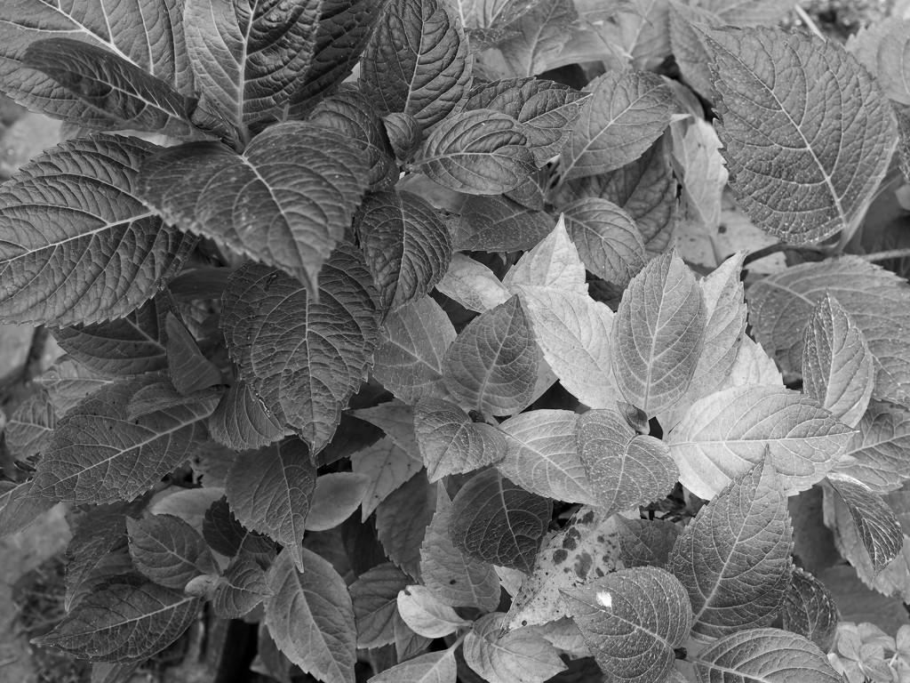 Hydrangea or hortensia by monikozi