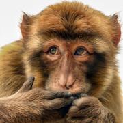 18th Nov 2020 - Barbary Macaque