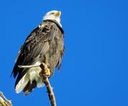 18th Nov 2020 - Eagle