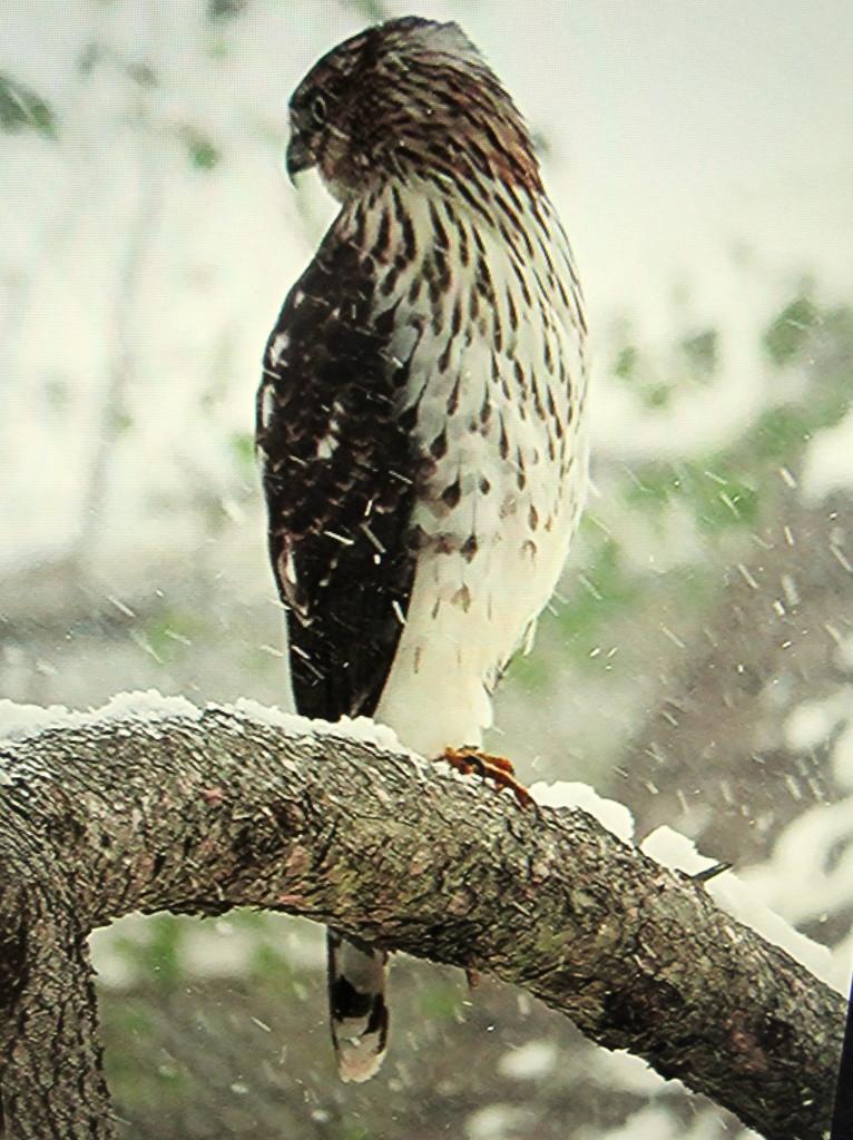 No birds no squirrels - a hawk by bruni