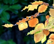 18th Nov 2020 - Autumn Leaves