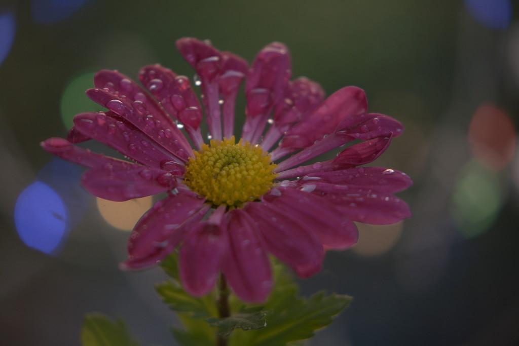 Chrysanthemum ..... by ziggy77