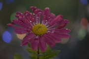 18th Nov 2020 - Chrysanthemum .....