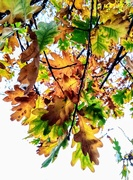 17th Nov 2020 - Autumn oak leaves
