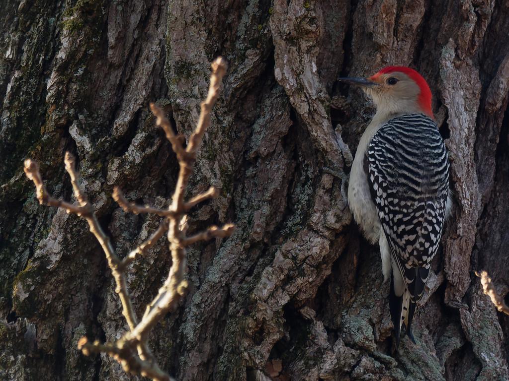 red-bellied woodpecker  by rminer