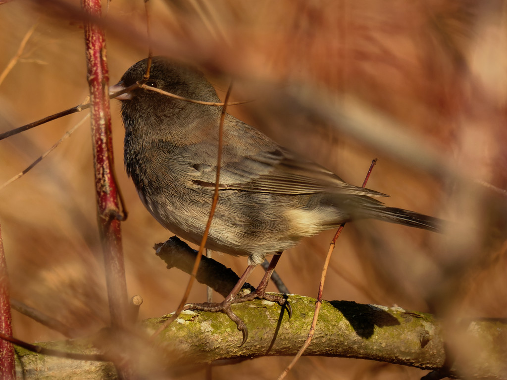 dark-eyed junco  by rminer