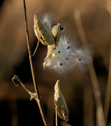 18th Nov 2020 - milkweed seeds