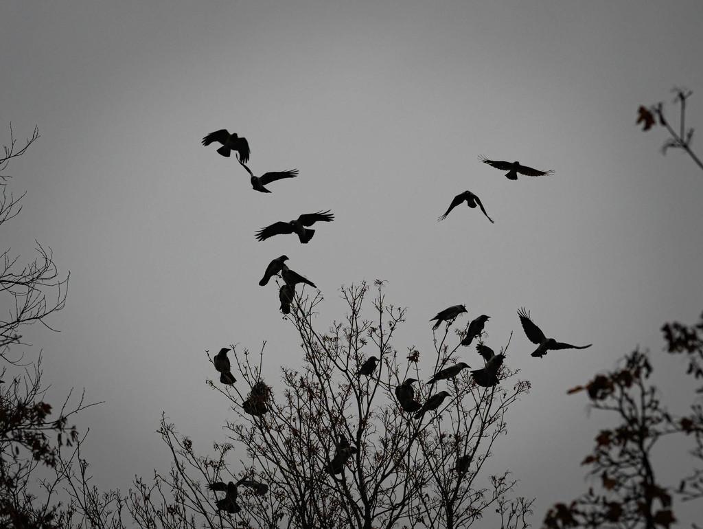 Crows by haskar