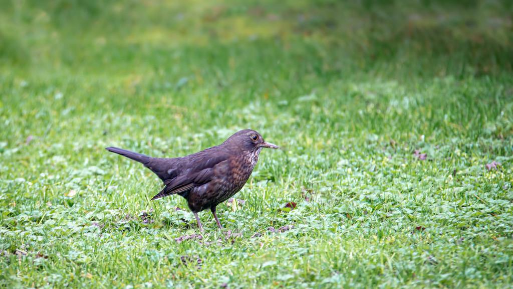 Mrs. Blackbird by vignouse