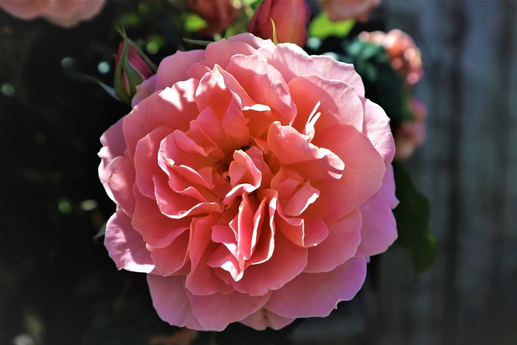 Rose Mothers Love by sandradavies