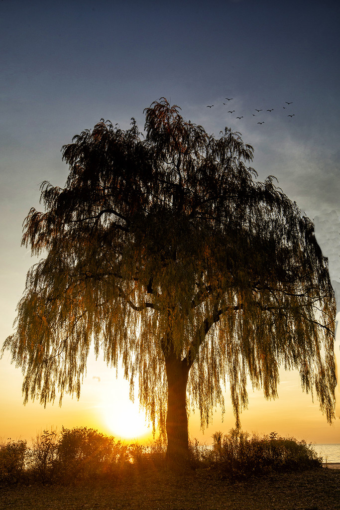 The Willow Tree at Sunset by pdulis