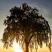 The Willow Tree at Sunset