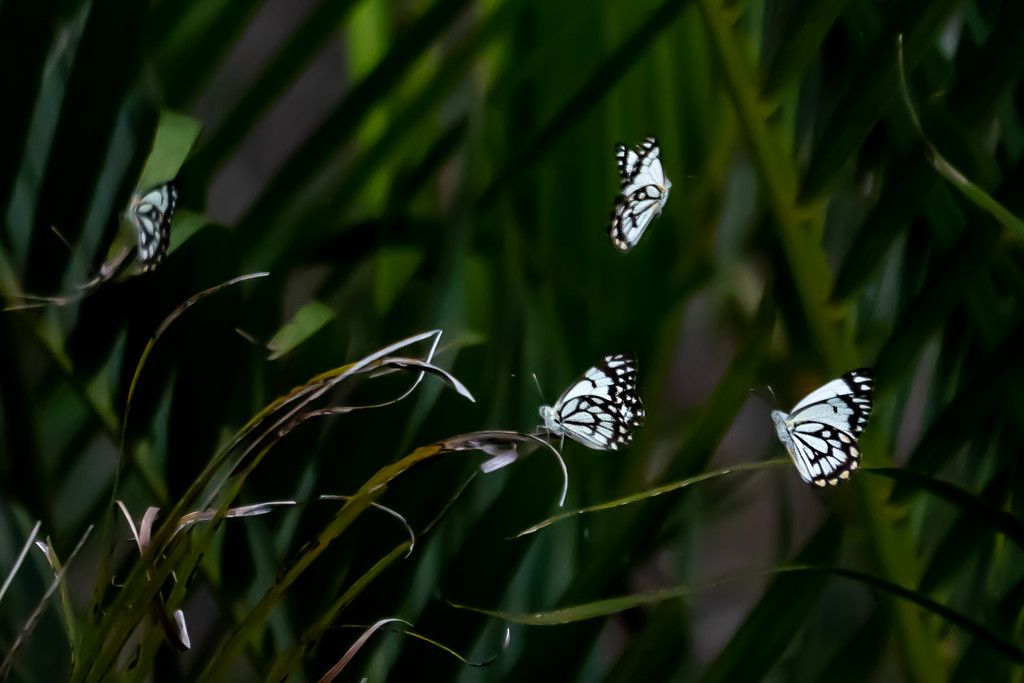 Caper white butterflies by sugarmuser