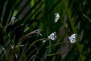 21st Nov 2020 - Caper white butterflies