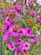 18th Nov 2020 - Last flowers before winter.