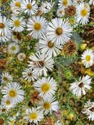 18th Nov 2020 - White flowers.