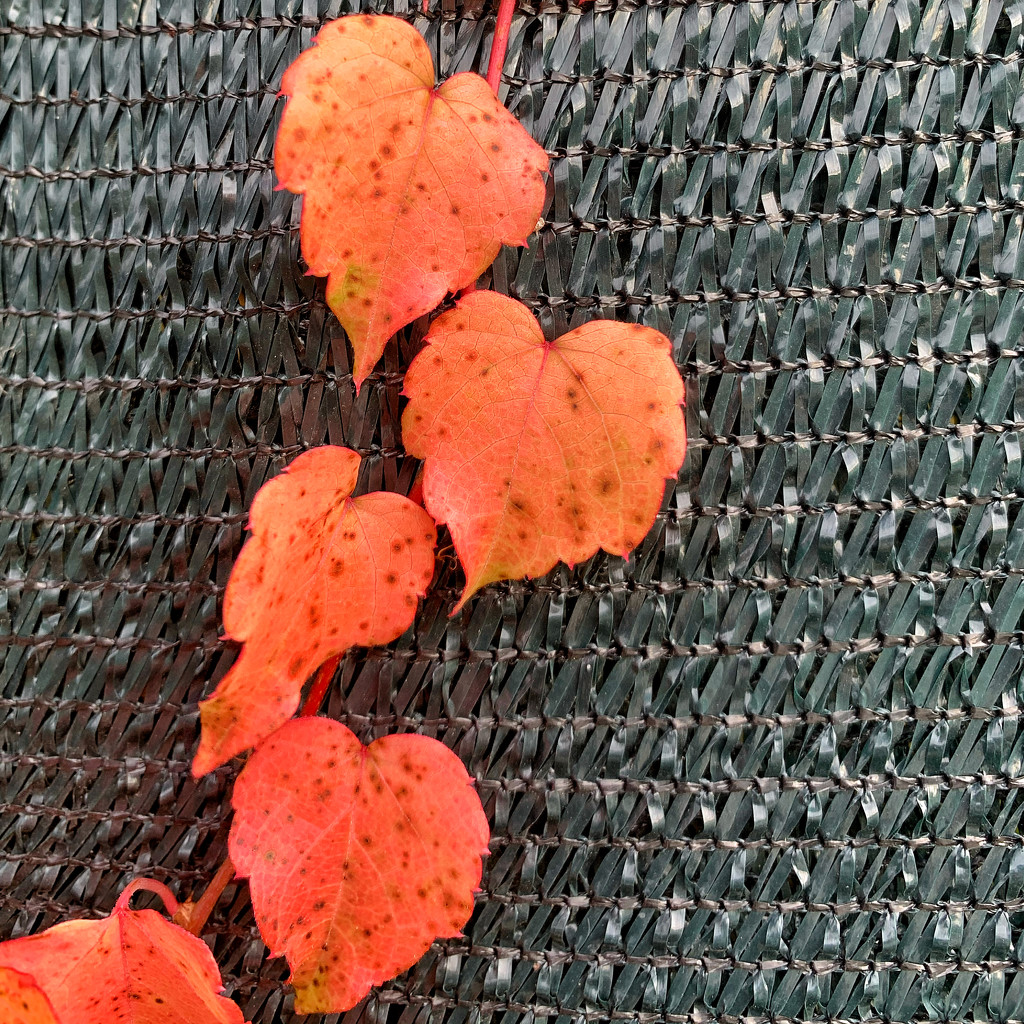 Orange heart leaves.  by cocobella