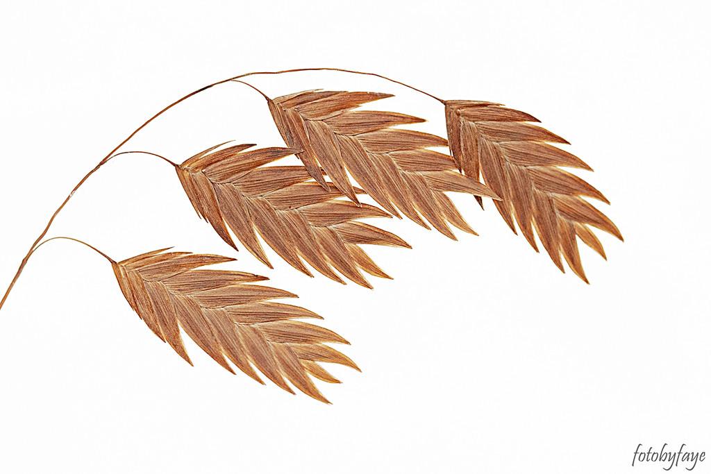 Northern Sea Oat Grass by fayefaye