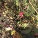 Roses insidious