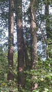 19th Nov 2020 - Painted loblolly pine and sweetgum tree trunks...