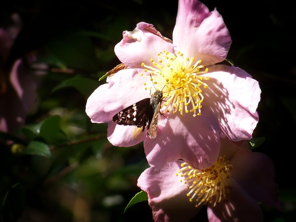 A tattered skipper on a tattered blossom... by marlboromaam