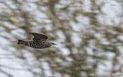 18th Nov 2020 - speedy starling