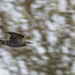 speedy starling