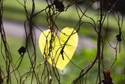 18th Nov 2020 - Heart leaf (1 of 1)