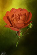 19th Nov 2020 - Faffing with a rose