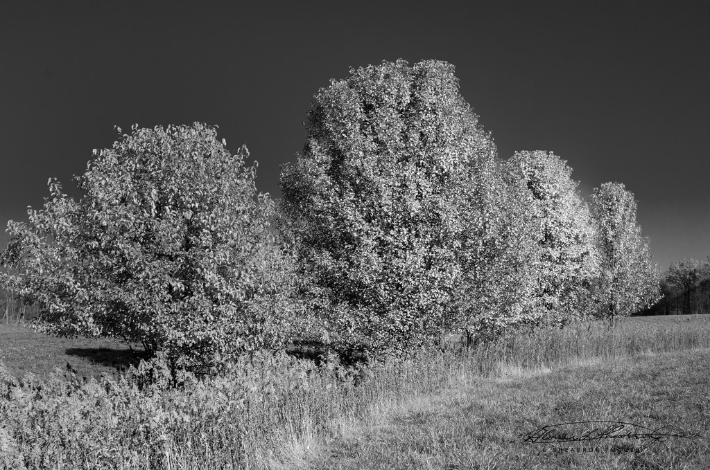 Fall Color in B&W baby! by ggshearron